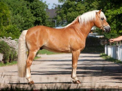 каурая лошадь