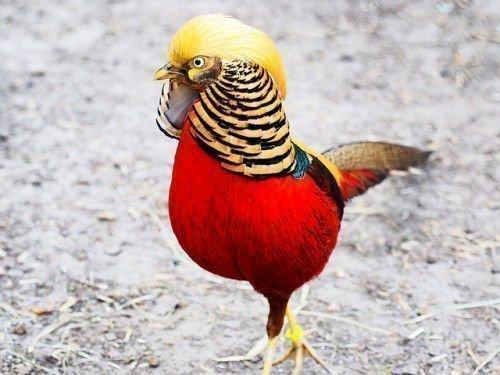 Красный королевский фазан