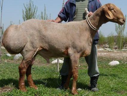 Овца Гиссарской породы