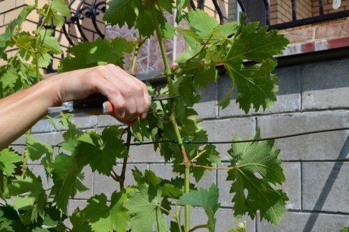 Заготовка зеленых черенков
