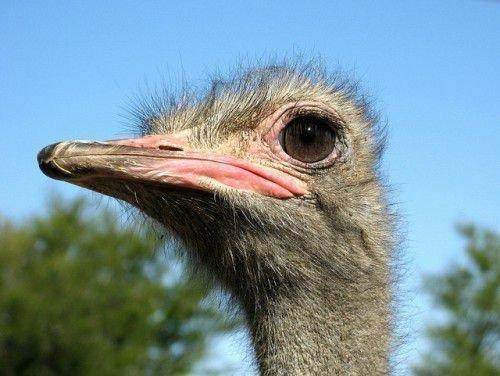 Портрет страуса