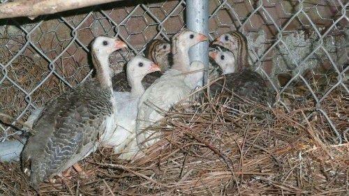 Птенцы французской цесарки