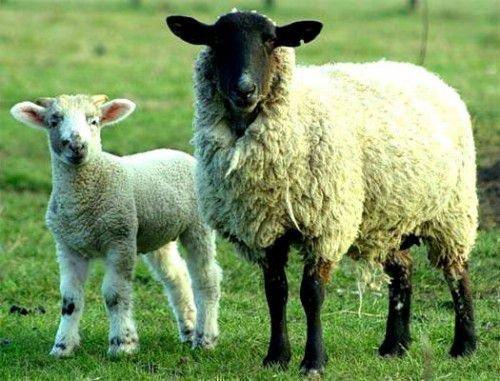 Овца романовка