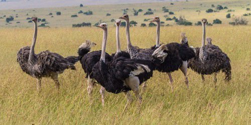Стадо страусов в саванне