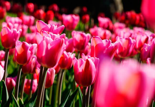Влияние лунных фаз на посевы тюльпанов