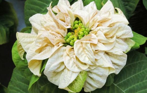 цветок рождественская звезда как ухаживать чтобы цвел
