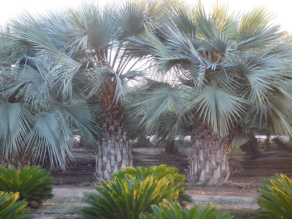 пальма домашняя разновидности