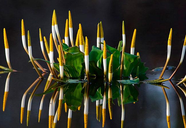 Orontium aquaticum (оронтиум водный)