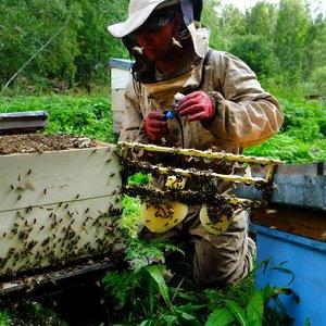 Периоды сезона пчеловодства: работы на пасеке (с видео)
