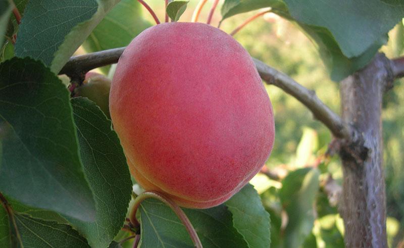 Сорт абрикоса Денисюка