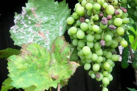 Уход за виноградом в августе