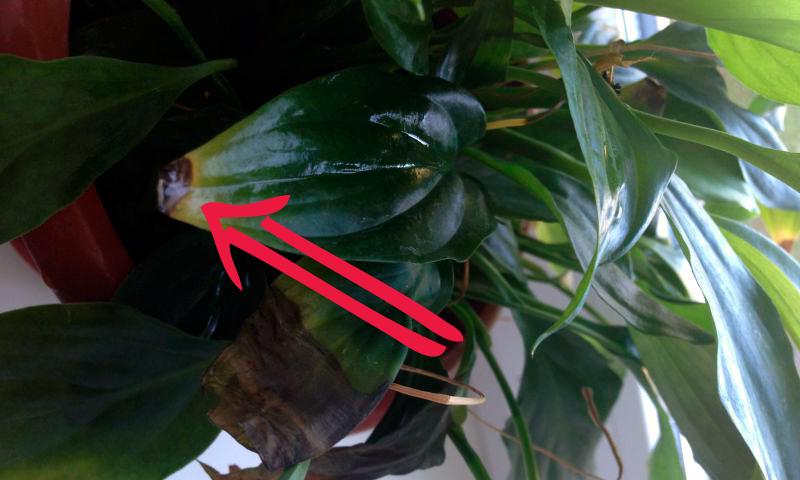 у спатифиллума чернеют кончики листьев