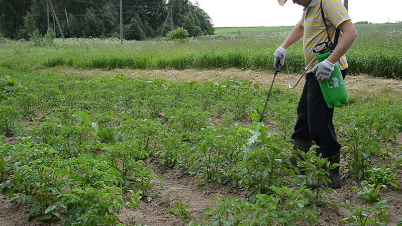 обработка картофельного поля гербицидом Зенкор от сорняков