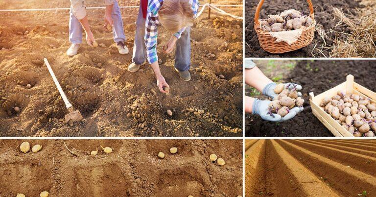 Посадка картошки в 2020 году по лунному календарю