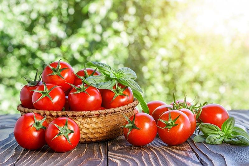 скороспелые сорта томатов для теплиц
