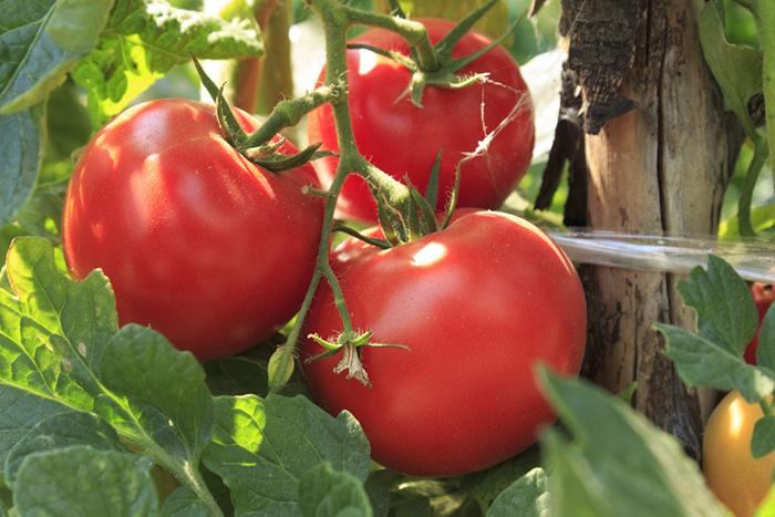 Сорт томата Волгоградский