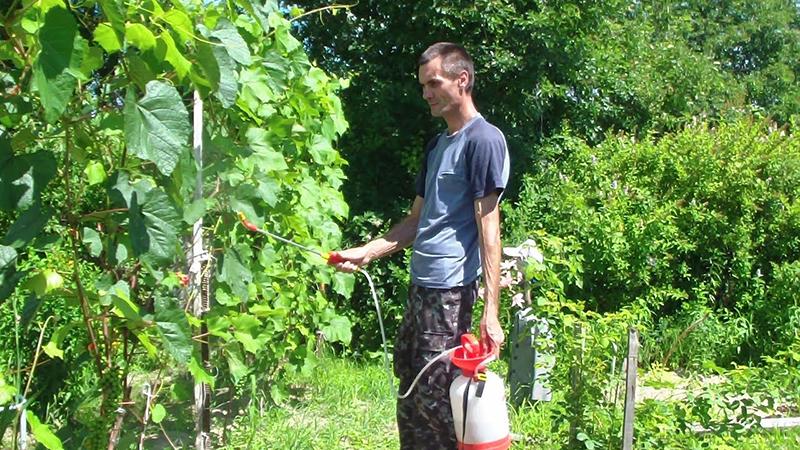 Защита винограда летом от болезней и вредителей