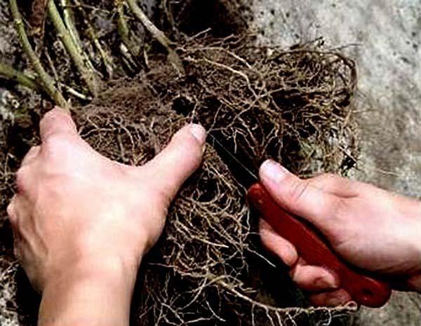 Деление проводится вручную, если требуется, корень разрезается острым ножом