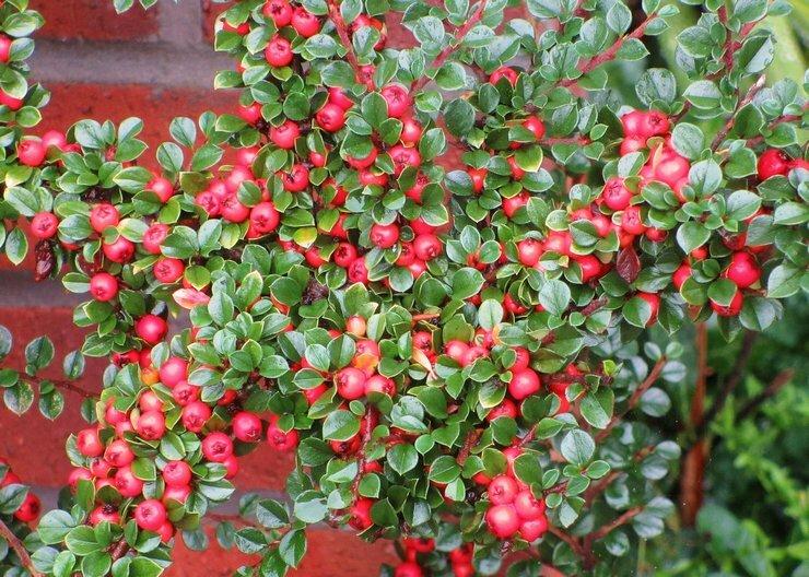 Кизильник - достойное украшение вашего сада