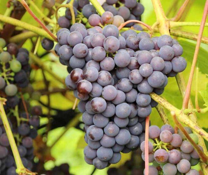 Изабелла виноград