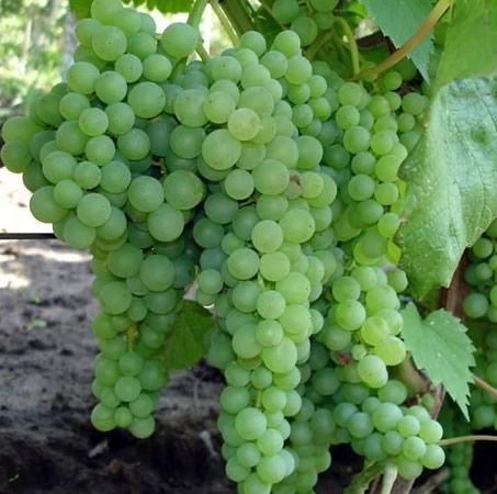 Сорт винограда Дружба