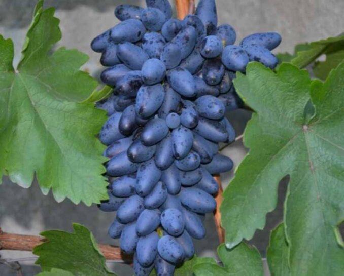 Одесский сувенир виноград