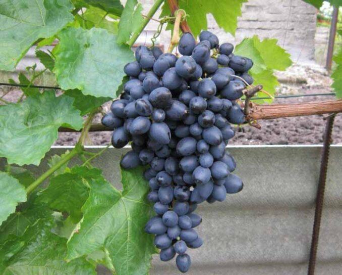 Надежда Азос виноград