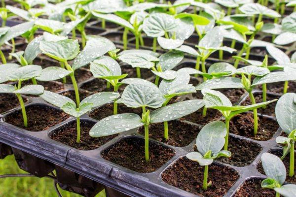 Как правильно вырастить рассаду огурцов на окне, чтобы она не вытягивалась