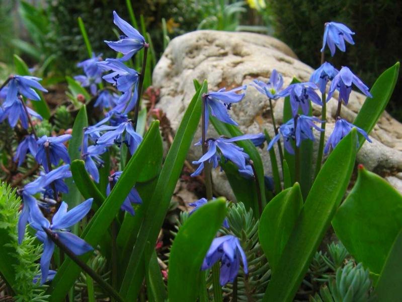 Яркие пролески: голубые первоцветы во всей красе