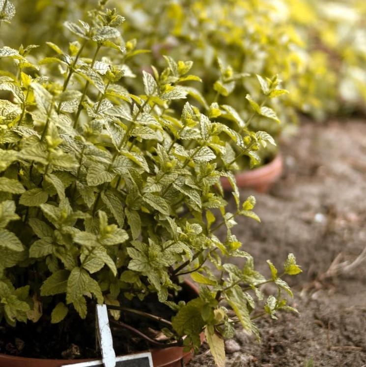 Как нужно сажать мяту на даче и в саду