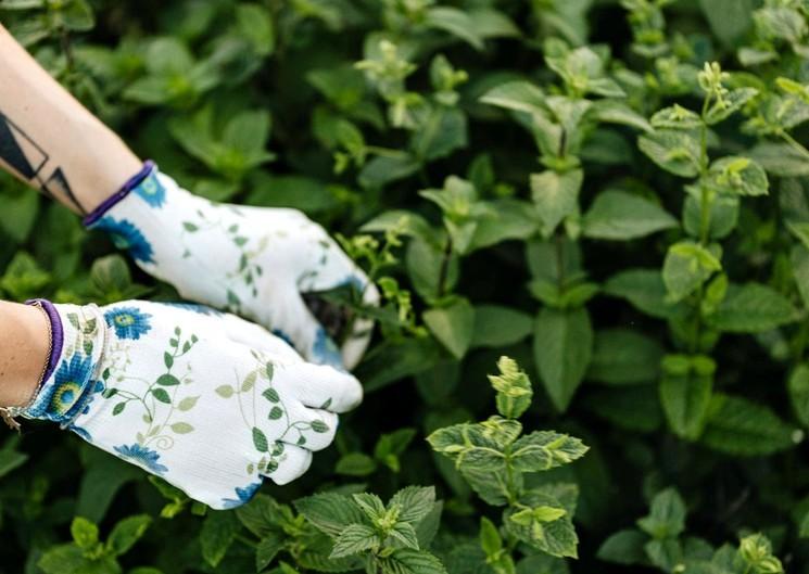 Как выращивать мяту в открытом грунте