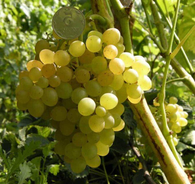 Золотце виноград