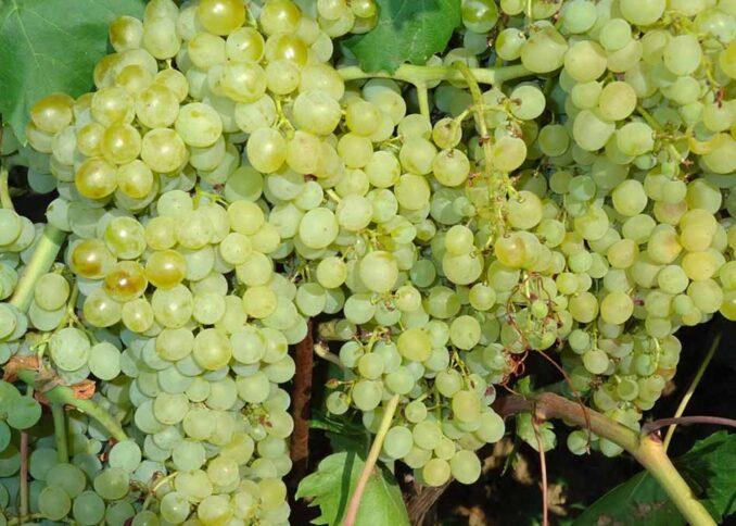 Кишмиш виноград