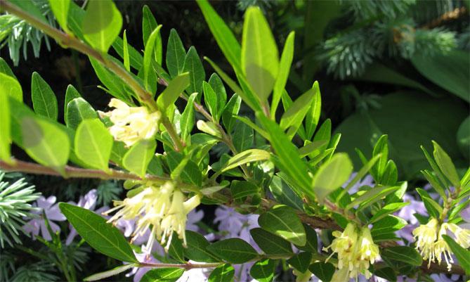 Цветы жимолости