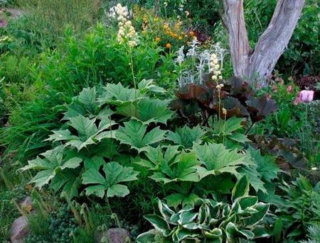 Роджерсия: неприхотливый экзот с большими листьями
