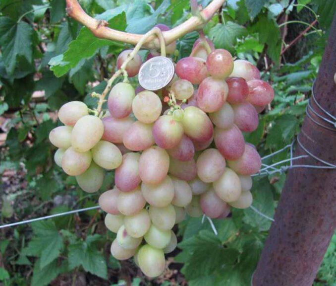 Тасон виноград