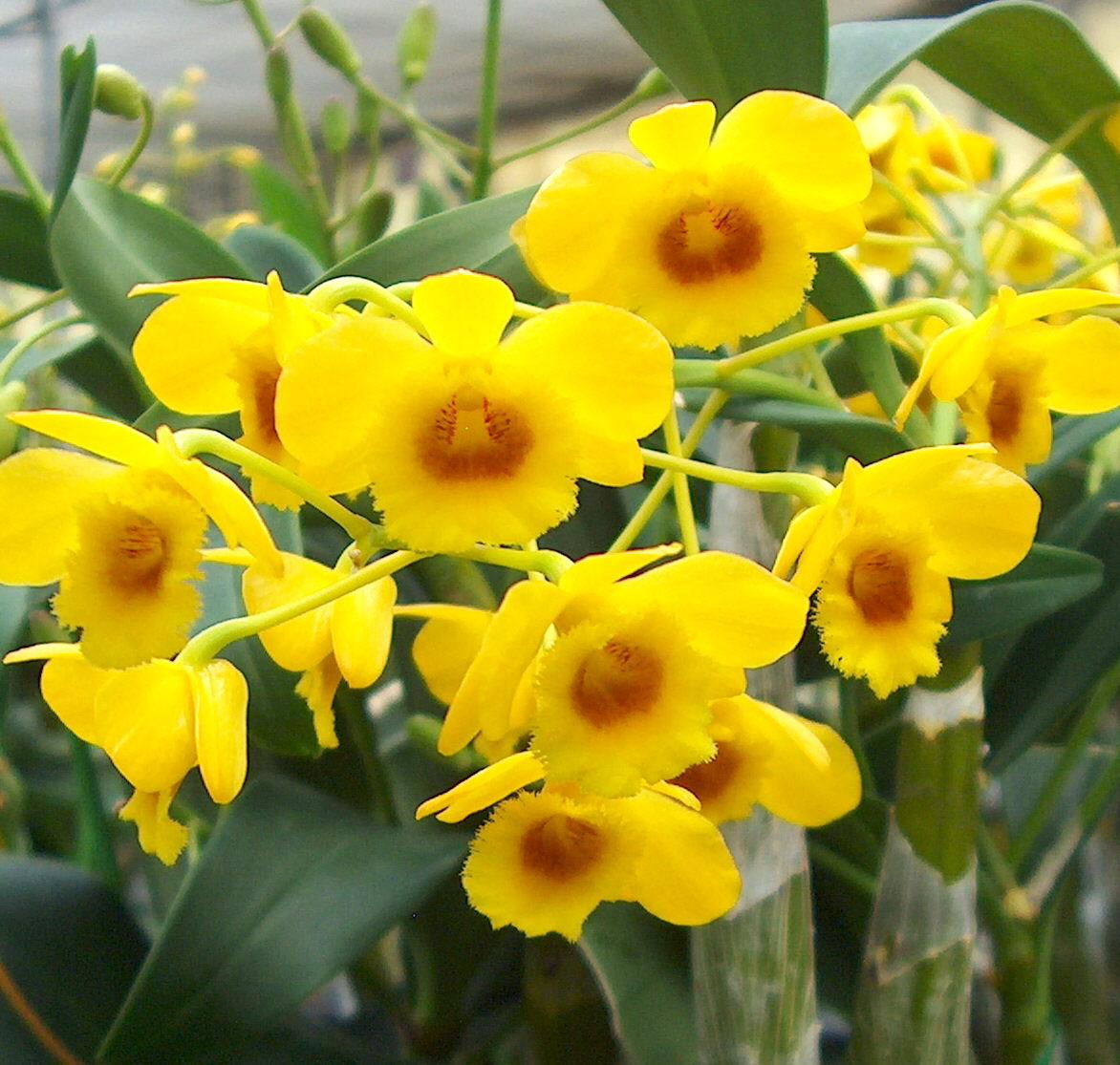 цветок дендробиум уход в домашних условиях