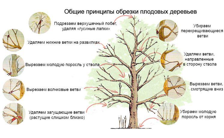 Как обрезать плодовые деревья - схема