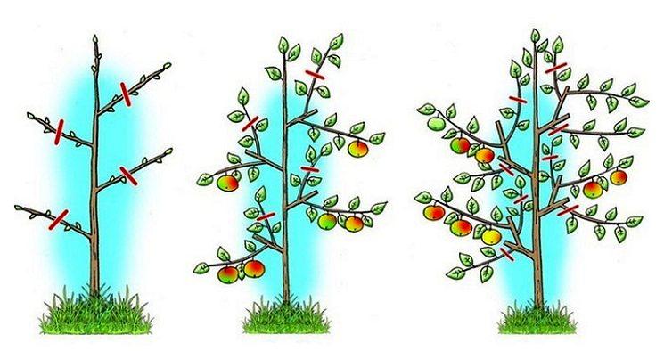Как обрезать яблони - схема