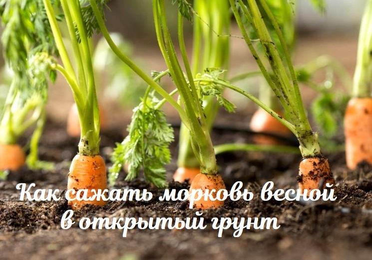 Как сажать морковь весной
