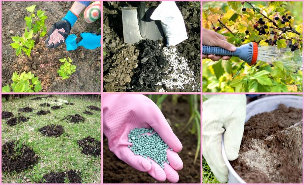 Какие виды и способы подкормки применимы для смородины весной