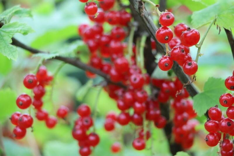 Лечите смородину содой, чтобы забыть о болезнях растения