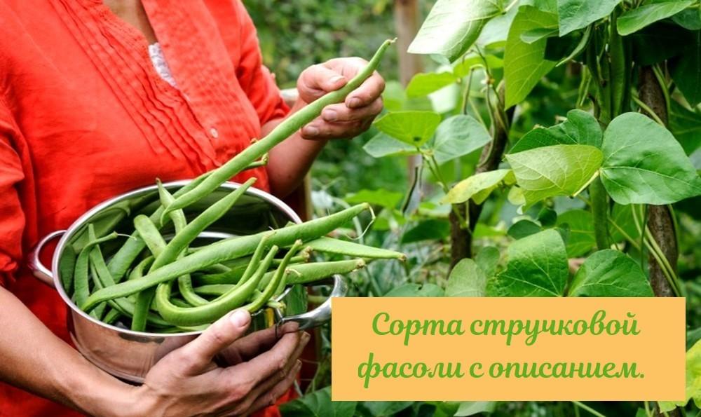 Лучшие сорта семян стручковой фасоли