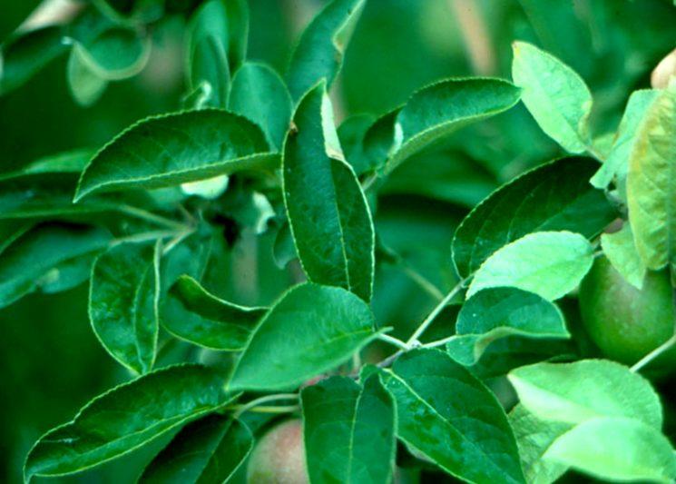 Млечный блеск на листьях