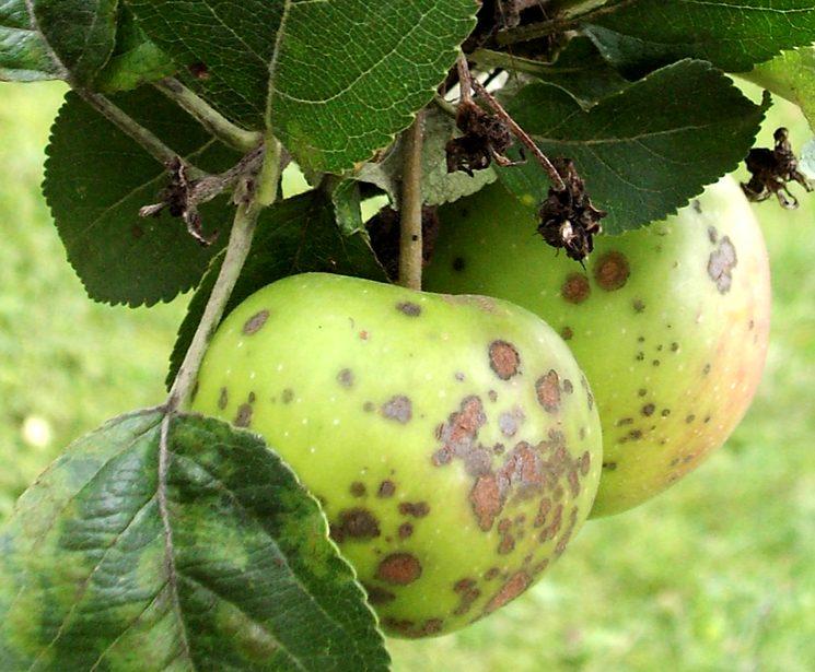 Парша яблонь