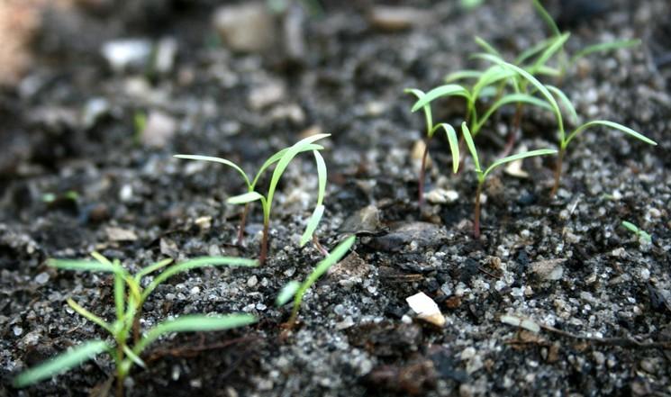 Как подготовить всхожие семена моркови
