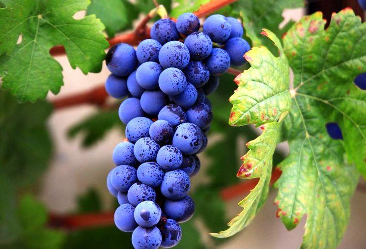 Одесский виноград