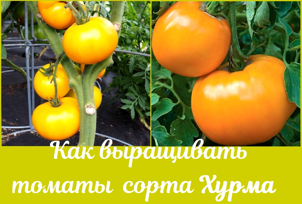 Как выращивать томаты сорта Хурма