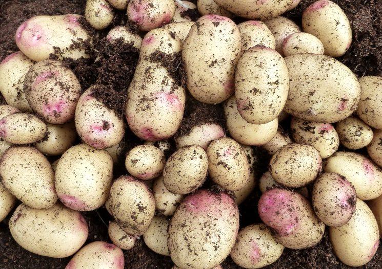 Удобрения для хорошего урожая картошки