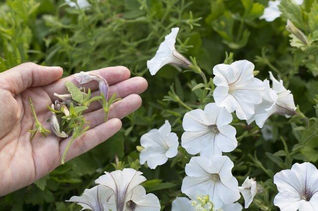 Три простых правила которые заставят петунии цвести лучше